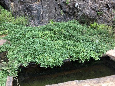 Chas e plantas tradicionais